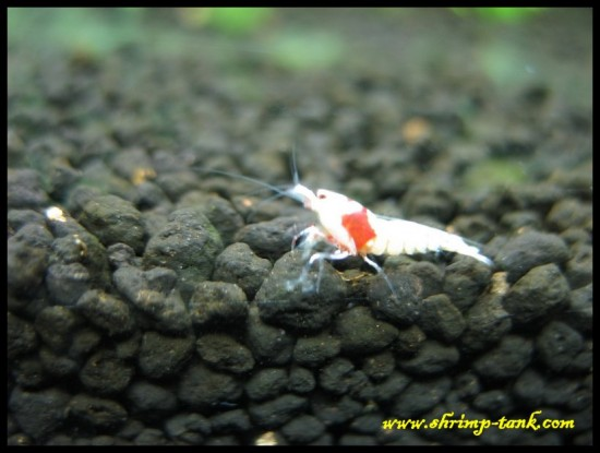 Shrimp-Tank. Young CRS SSS