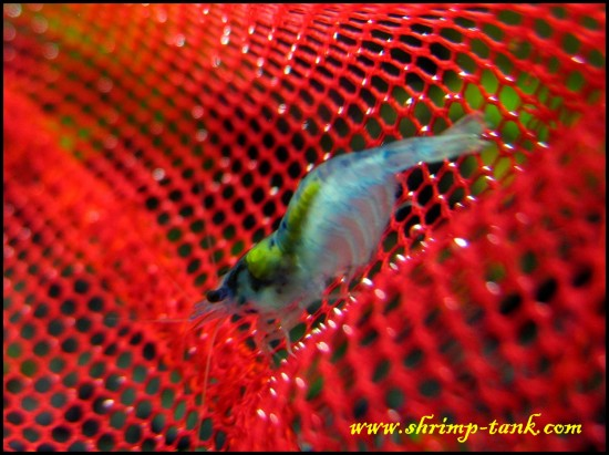 Shrimp-tank.com Blue velvet female shrimp