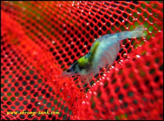 Shrimp-tank.com Neocaridina blue velvet shrimp