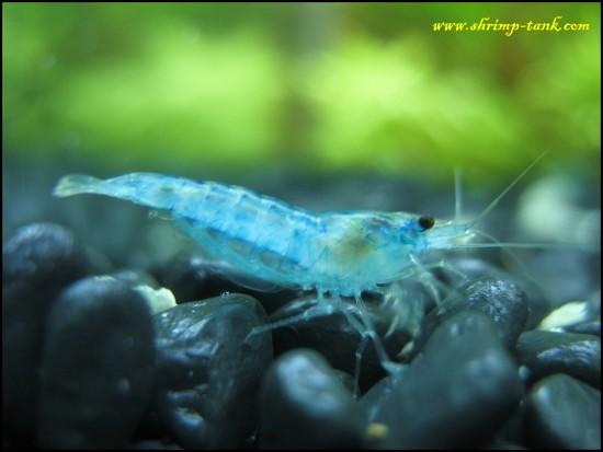Blue velvet neocaridina shrimp in freshwater tank