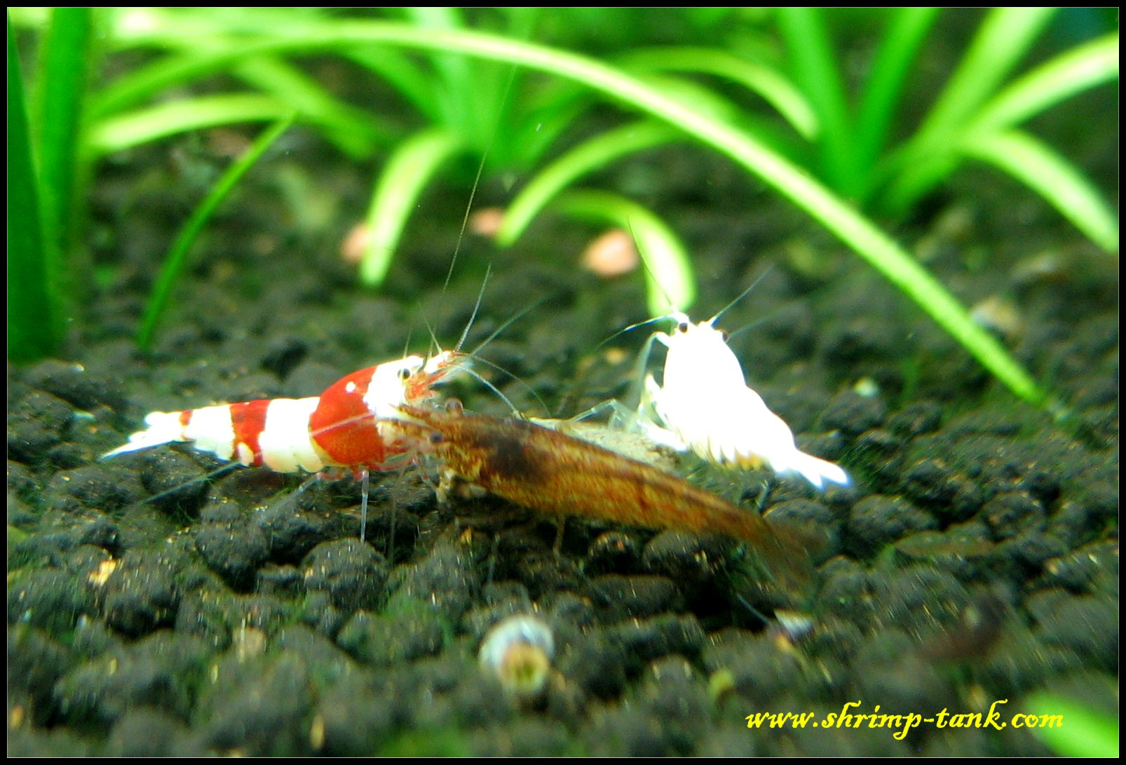 Caridina and neocaridina shrimps @ Shrimp Tank Shrimps In Aquarium