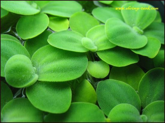Shrimp-Tank.com Mini water lettuce plant