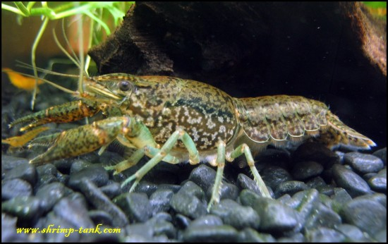 Marbled crayfish in a shrimps tank