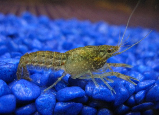 Young marbled self-cloning crayfish