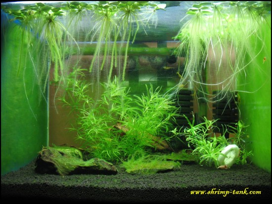 Shrimp tank with lots of algae on plants