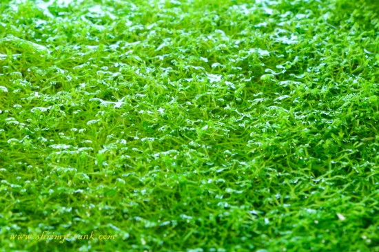 Bright green color makes riccia a perfect plant for aquascaping