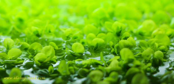 Baby tears plants in a shrimp tank