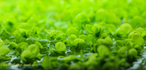 Micranthemum umbrosum aquarium plant close up