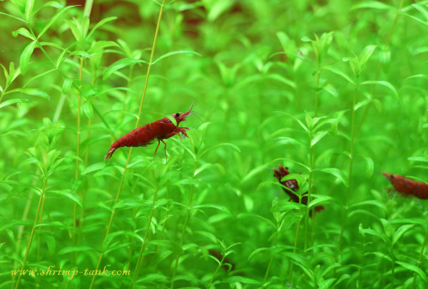 Red shrimps hide in plants