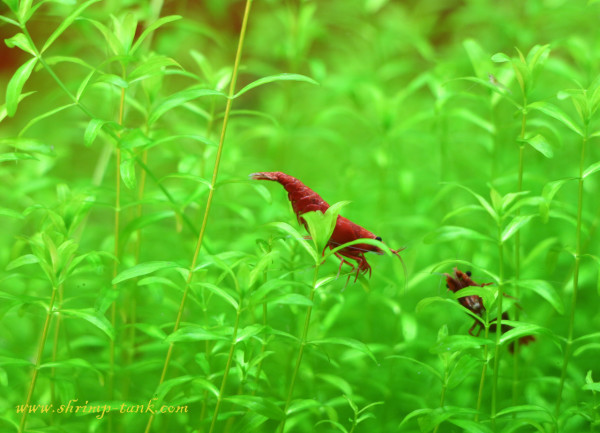 Painted fire red shrimp in pearl grass plantsPainted fire red shrimp in pearl grass plants