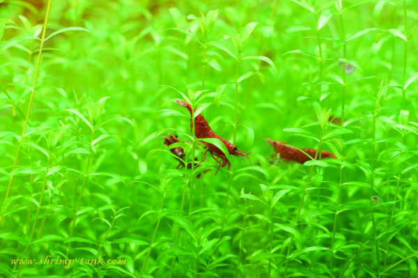 Painted fire red shrimps feel better in a groups