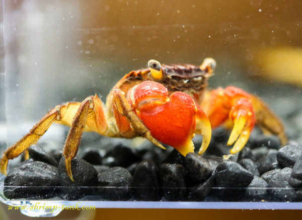 Red claw crab in shrimp tank