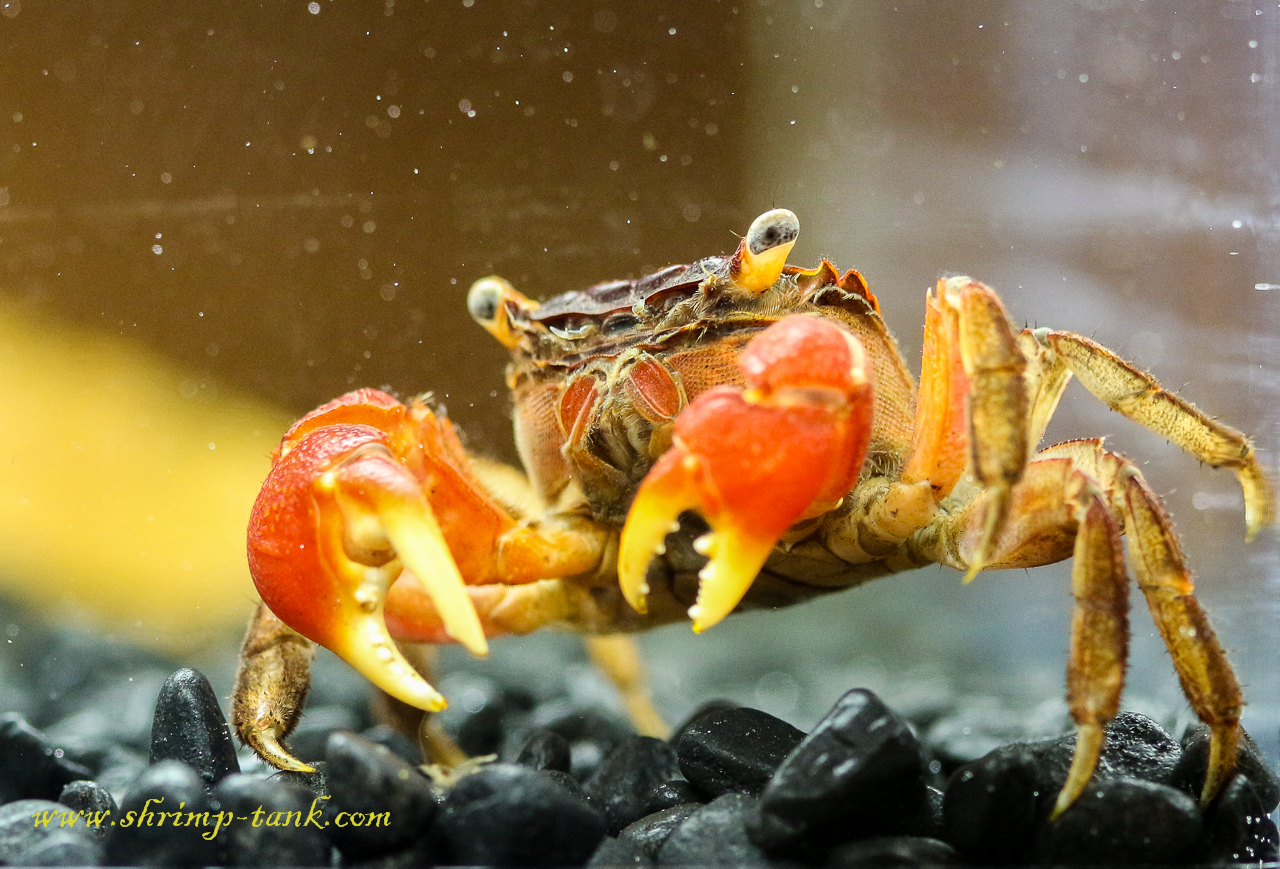 Red Claw Crab Photos @ Shrimp Tank