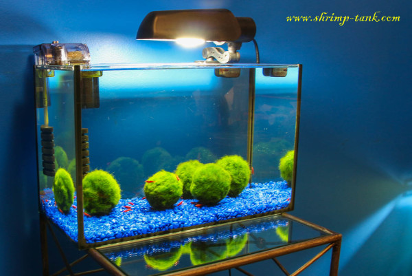 Shrimp tank with just marimo moss balls