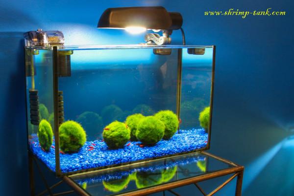 Shrimp tank with just marimo moss balls