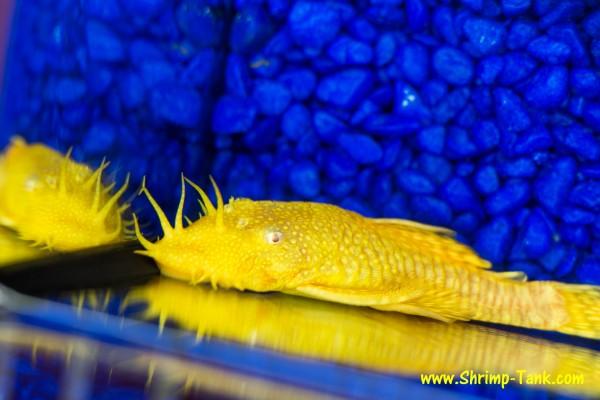 Bristlenose albino pleco