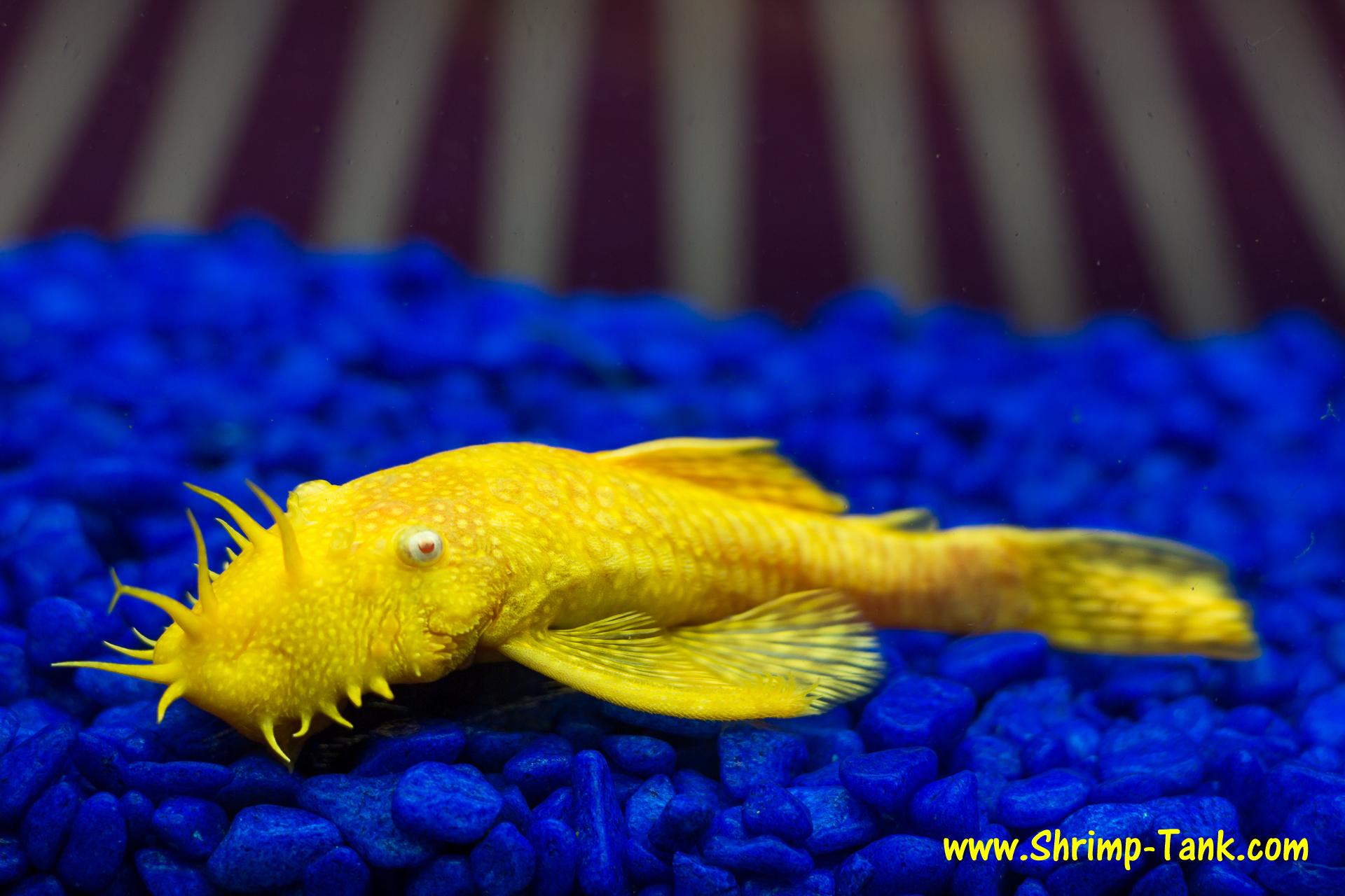 Bristlenose Pleco Related Keywords & Suggestions - Bristlenose Pleco ...