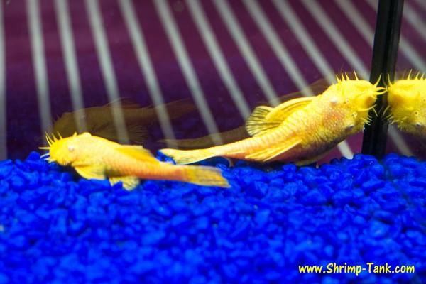 Bristlenose albino pleco pair