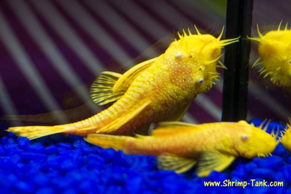 Bushynose albino pleco pair