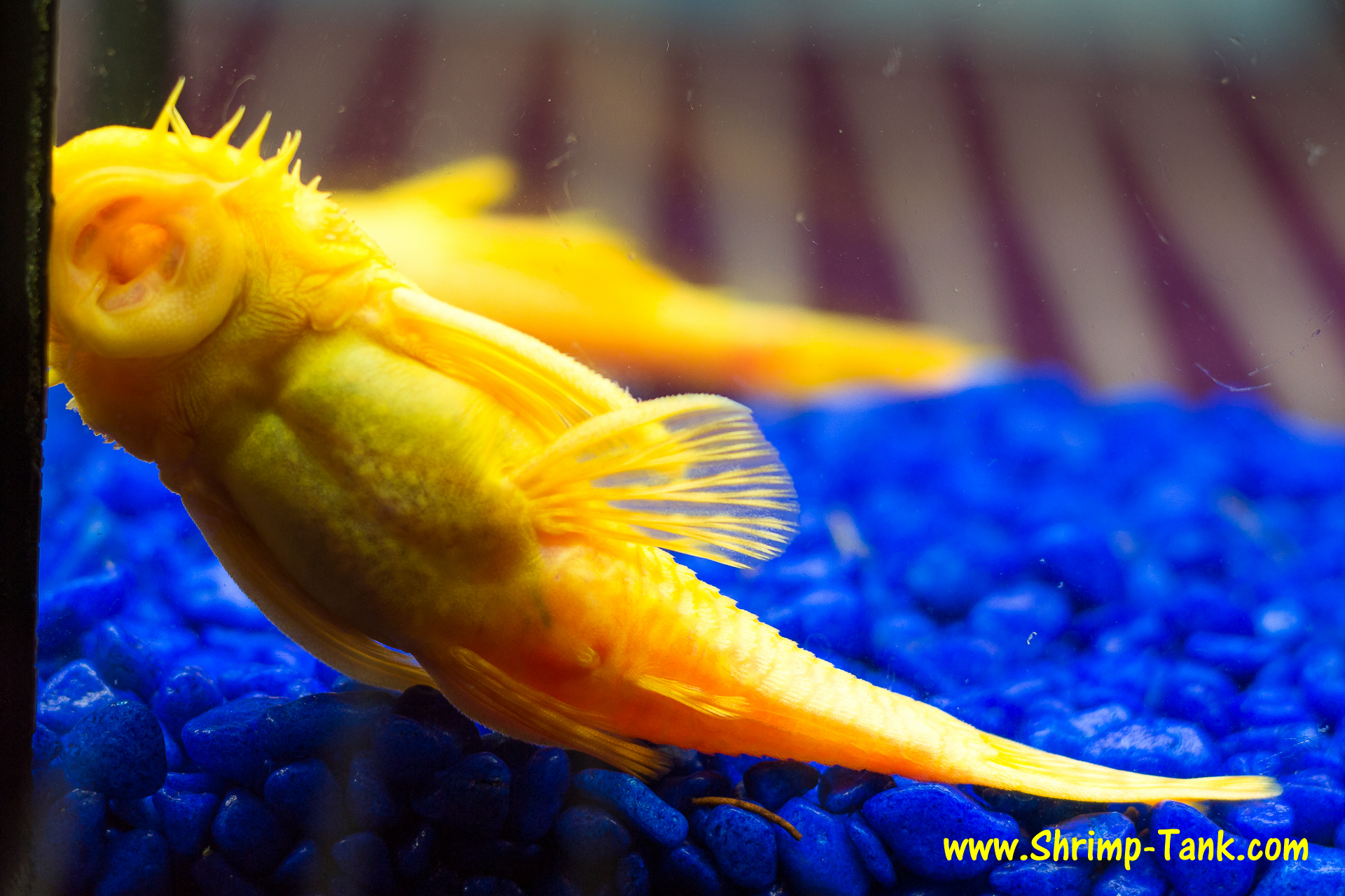 Bushynose Pleco : Bristlenose albino pleco photos @ Shrimp Tank