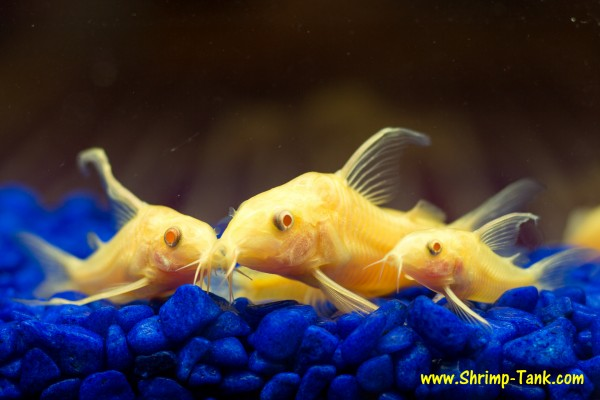 Longfin albino corydoras catfish