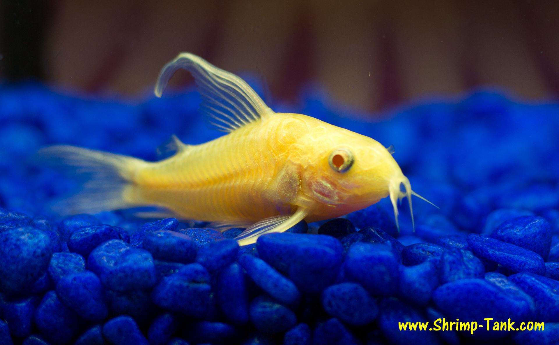 Fish photos longfin albino cory shrimp tank for Cory cat fish