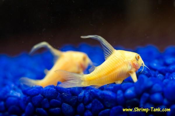 Pair of longfin albino corydoras catfish